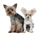 Chihuahua puppy and Yorkshire terrier, 4 months and 1 year old, sitting in front of white background — Stock Photo