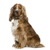 English Cocker Spaniel, 2 and a half years old, sitting in front of white background — Stock Photo