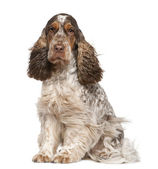 English Cocker Spaniel, 30 months old, sitting in front of white background — Stock Photo