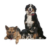 German shepherd dog, Bernese mountain dog and Chihuahua, 14 months, 4 years and 9 months old, in front of white background — Stock Photo