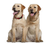 Two Labrador Retrievers, 2 years old and 11 months old, sitting in front of white background — Stock Photo