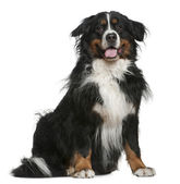 Bernese mountain dog, 5 years old, sitting in front of white background — Stock Photo