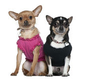 Two dressed Chihuahuas, 9 years old and 18 months old, sitting in front of white background — Stock Photo