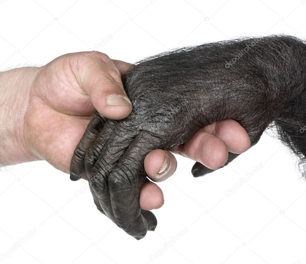 Human and monkey joining hands (Mixed-Breed between Chimpanzee and Bonobo) (20 years old) in front of a white background — Stock Photo #10880061
