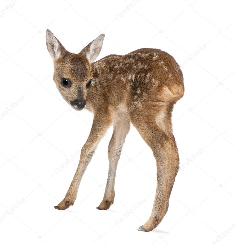 Woman Standing Side White Background Side view of roe deer fawn    Woman Standing Side White Background