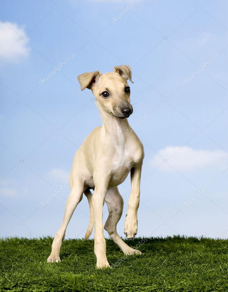 italian greyhound 3 months stockfoto lifeonwhite 10880185. Black Bedroom Furniture Sets. Home Design Ideas