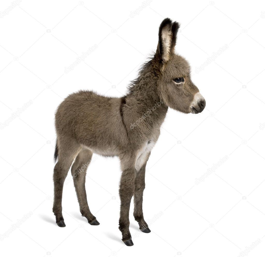 Seitenansicht der Esel Fohlen, 2 Monate alt, stehend vor weißem ...