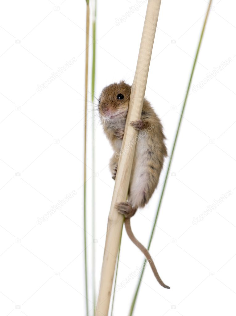 Harvest Mouse, Micromys minutus, climbing on piece of wood, studio shot — Stock Photo #10880495