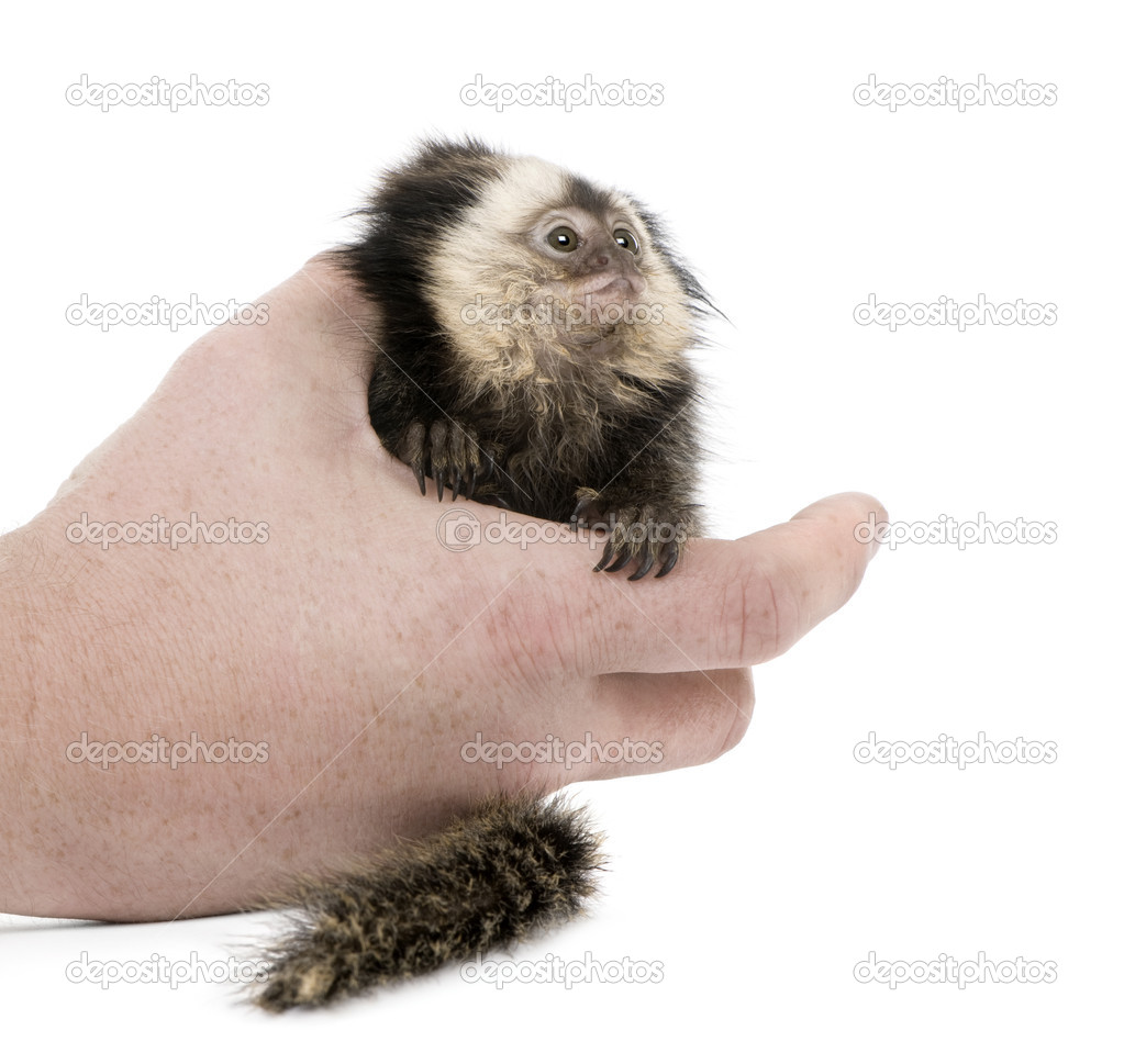 Person holding young White-headed Marmoset, Callithrix geoffroyi, 5 months old, in front of white background  Stock Photo #10880509
