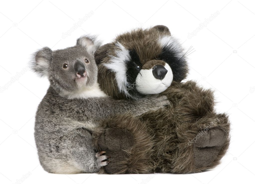 Portrait of male Koala bear hugging teddy bear, Phascolarctos cinereus, 9 months old, in front of white background  Stock Photo #10880866