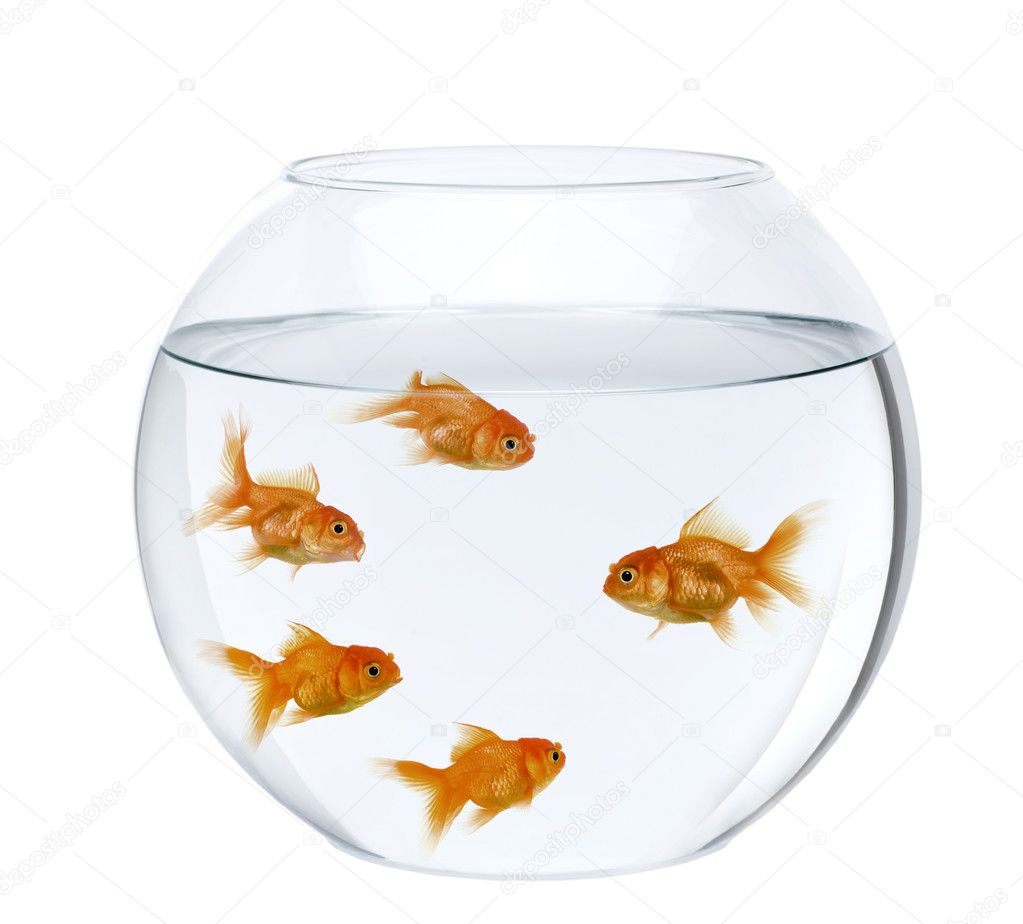 Five goldfish in fish bowl in front of white background for Fish in a bowl