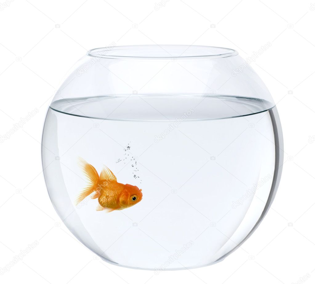 Poisson rouge en bocal poissons en face de fond blanc for Bocal poisson rouge