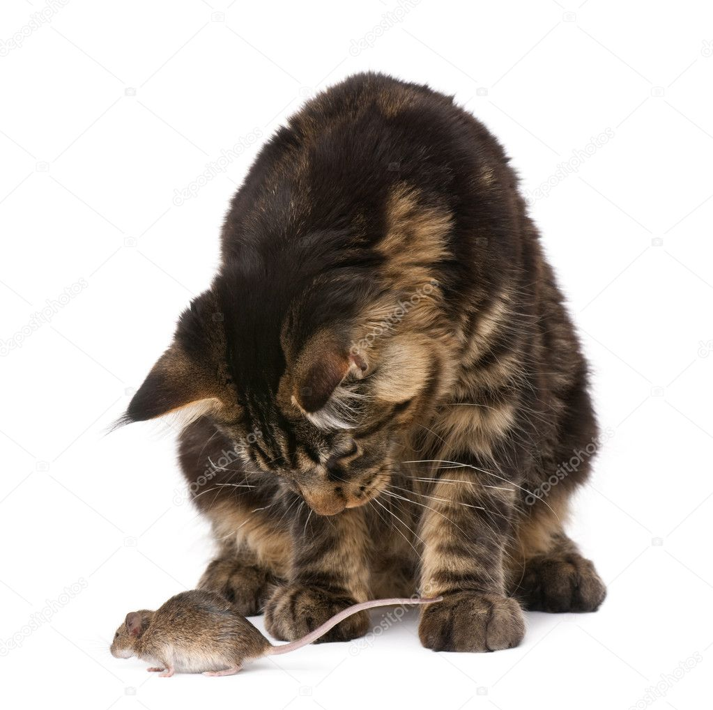 Maine Coon looking at wild mouse, 7 months old, in front of white background — Stock Photo #10884087