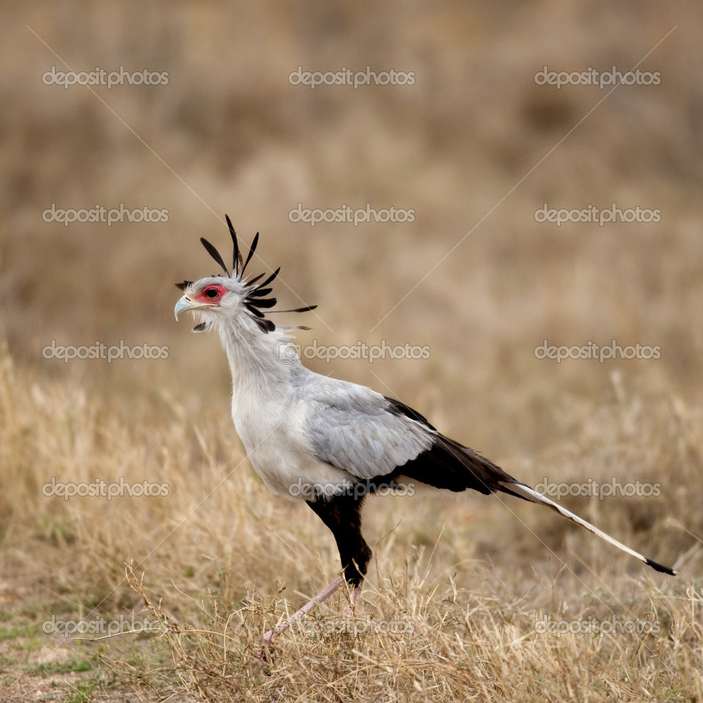 Side view of Secretary bird, Serengeti National Park, Serengeti, Tanzania, Africa — Stock Photo #10884548