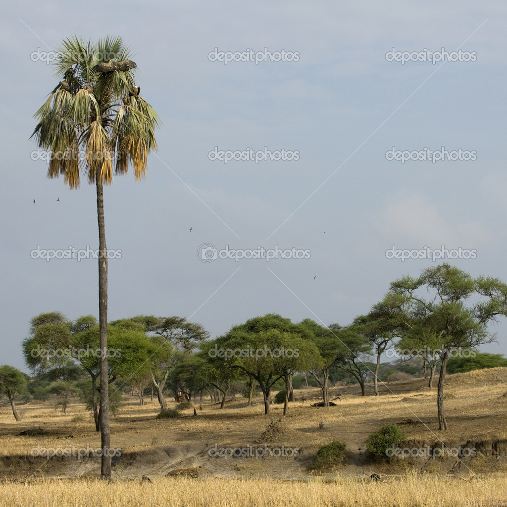 Scenic view of trees and palm tree in the Serengeti, Tanzania, Africa — Stock Photo #10885244