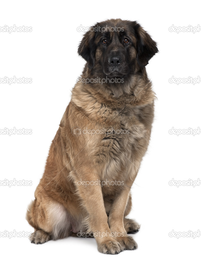 Leonberger dog, 2 years old, sitting in front of white background — Stock Photo #10885854