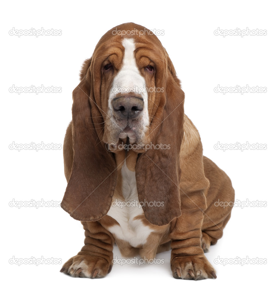 Basset Hound, 2 years old, sitting in front of white ...