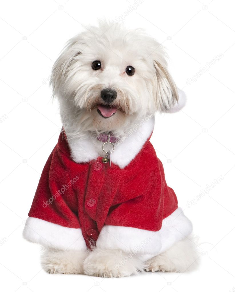 Coton de tulear dog in Santa suit, 1 year old, sitting in front of white background  Stock Photo #10886329
