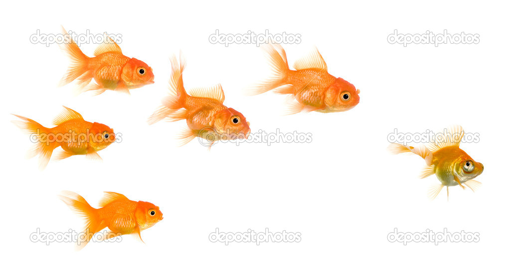 School of Goldfish in front of a white background, this image can be used to represent : exclusion, bullying, chase, hunt,leading,gang, solidarity, etc — Stock Photo #10886440