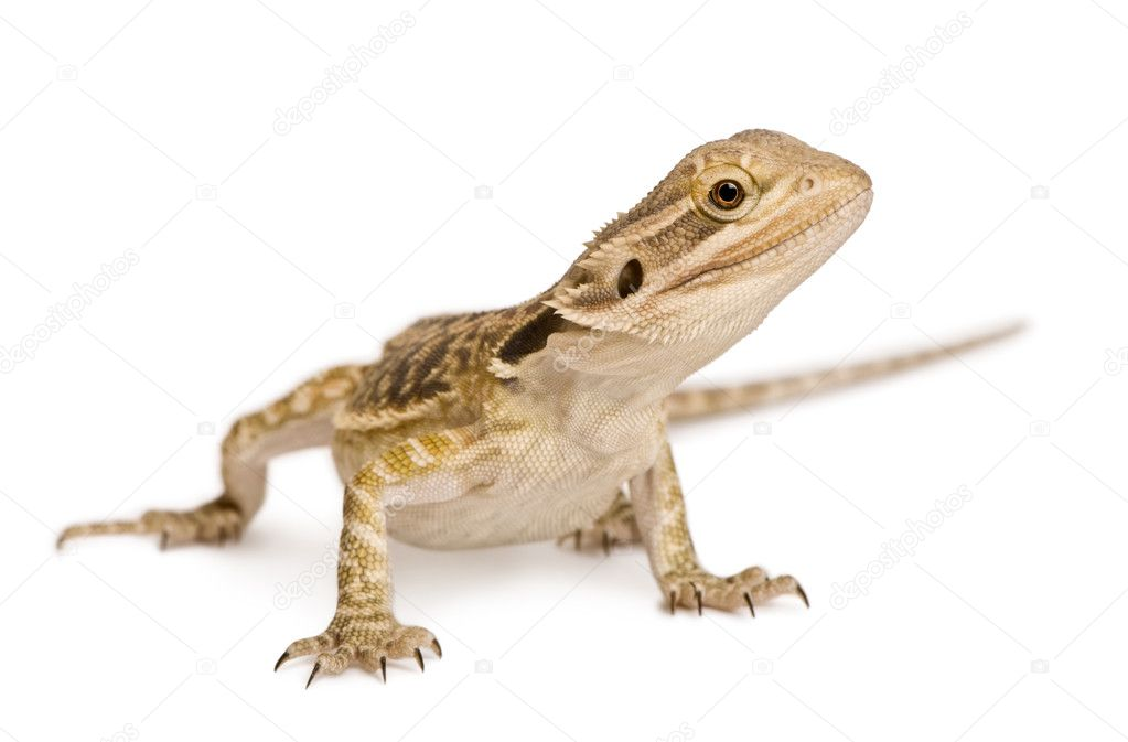 Lawson's dragon, Pogona henrylawsoni, against white background — Stock Photo #10886792
