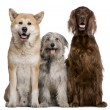 Irish Setter, Akita Inu and Pyrenean Shepherd dog, 4 years, 5 years, and 7 months old, in front of white background — Stock Photo