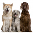Irish Setter, Akita Inu and Pyrenean Shepherd dog, 4 years, 5 years, and 7 months old, in front of white background - Stock Photo
