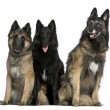 Two Belgian Shepherd dogs, Tervuren, and a Belgian Shepherd dog, Groenendael, 7 years, 2 years, and 4 years old, sitting in front of white background — Stock Photo