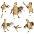 Collection of chicks trying to fly in front of white background — Foto de Stock