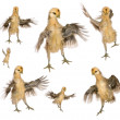 Collection of chicks trying to fly in front of white background — Stock fotografie