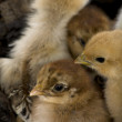 Close-up of group of chicks — Stock Photo