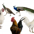 Peacocks, hens and rooster in front of white background — Stock Photo #10890678
