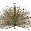 Male Indian Peafowl walking in front of white background — Stock Photo