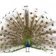 Male Indian Peafowl walking in front of white background - Stock Photo