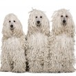 Three White Corded standard Poodles sitting in front of white background — Stock Photo