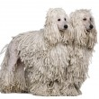 Stock Photo: Two White Corded standard Poodles sitting in front of white background