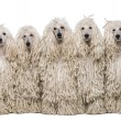 Five White Corded standard Poodles sitting in front of white background — Stock Photo
