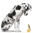 Great Dane Harlequin sitting in front of white background looking at a Blue Tit bird — Stock Photo #10890794