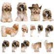 Group montage of shih Tzu, 3 years old, against white background — 图库照片
