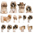 Group montage of shih Tzu, 3 years old, against white background — Foto Stock
