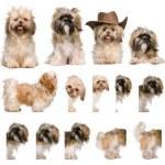 montaggio gruppo di shih tzu, 3 anni, su sfondo bianco — Foto Stock #10890901