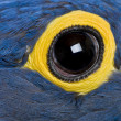 Hyacinth Macaw, 1 year old, close up on eye — Foto de Stock