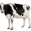 Holstein cow, 5 years old, standing against white background — Stock Photo