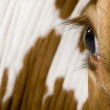 Holstein cow, 4 years old, looking at camera, close up on eye — Stock Photo #10891384