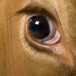 Holstein cow, 4 years old, looking at camera, close up on eye — Stock Photo #10891386