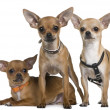 Stock Photo: Chihuahua, 12 months, 12 months and 6 months old, standing and lying in front of white background