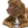 Dogue de Bordeaux puppy, 5 months old, lying in front of white background — Stock Photo #10891573