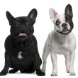 French Bulldogs sitting and standing in front of white background — Stock Photo #10891740