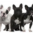 French Bulldogs, 11 months old, 3 and 6 years old, sitting and s — Stock Photo #10891773