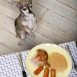 Royalty-Free Stock Photo: Chihuahua licking lips and looking at food on plate at dinner table