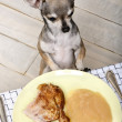 Chihuahua licking lips and looking at food on plate at dinner table — Stok fotoğraf
